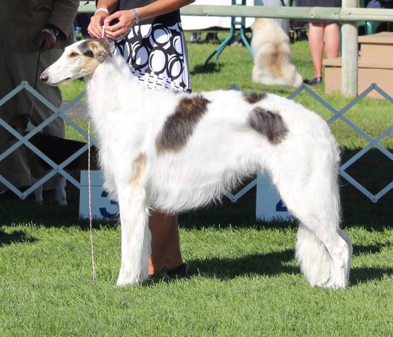 Taugo Borzoi - Can. Ch. Taugo's Winterz Warrioress